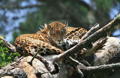 Jaguar. A jaguar cat - Panthera onca - reclines on a fallen tree log at a sanctuary in South Africa Royalty Free Stock Photos