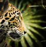 Jaguar Cat Profile. Beautiful Jaguar cat Panthera Onca in close up portrait in profile stock photos