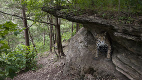 Jaguar in cave Stock Photography
