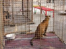 Jaguar in the cell Royalty Free Stock Image
