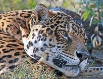 Jaguar. Central American Big Cat Resting stock photo