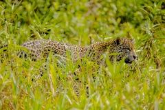 Jaguar che cammina attraverso le alte erbe Fotografie Stock Libere da Diritti
