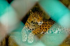 Jaguar che si siede nella gabbia in uno zoo in India immagine stock libera da diritti