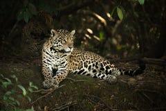 Jaguar che si trova sotto gli alberi sulla banca ombreggiata Immagine Stock