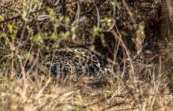 jaguar in Chobe-reserve stock foto's