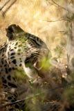jaguar in Chobe-reserve royalty-vrije stock fotografie