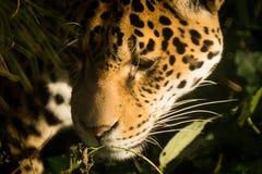 Jaguar close up