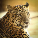 Jaguar Royalty Free Stock Photography