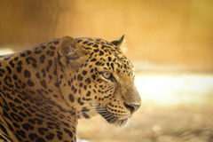 Jaguar. Close up face of Jaguar animal in nature wild Royalty Free Stock Images