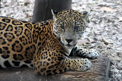 Jaguar. Close-up of face and torso of beautiful spotted jaguar Royalty Free Stock Photography
