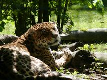 Jaguar close-up. The legs resting on a tree trunk and the dreamy look Stock Photography