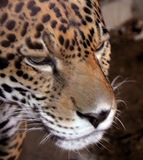 Jaguar Close-Up Portrait Stock Photos