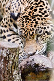 Jaguar close up Stock Photography