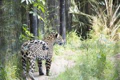 Jaguar Stock Image