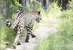 Jaguar Royalty Free Stock Image