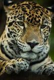 Jaguar-close-up in wildernis Royalty-vrije Stock Foto
