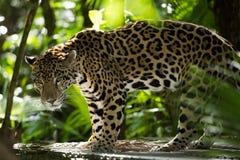 Jaguar closeup i djungel royaltyfri foto