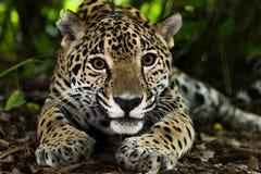 Jaguar closeup i djungel royaltyfria bilder
