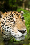 Jaguar closeup in jungle Stock Images