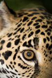 Jaguar closeup in jungle Stock Photos