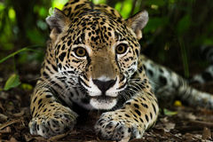 Jaguar closeup in jungle Royalty Free Stock Images