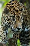 Jaguar closeup in jungle Royalty Free Stock Photography