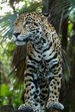 Jaguar closeup in jungle Stock Image