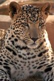 Jaguar Cub. Young jaguar cub sits in the sun in South Africa stock photography