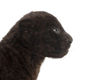 Jaguar cub, 2 months old, Panthera onca Royalty Free Stock Photography