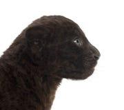 Jaguar cub, 2 months old, Panthera onca Royalty Free Stock Photography