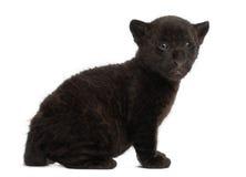 Jaguar cub, 2 months old, Panthera onca, sitting Stock Photos