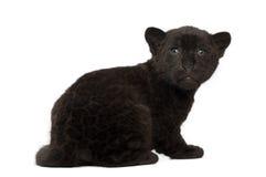 Jaguar cub, 2 months old, Panthera onca, sitting Royalty Free Stock Photo