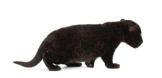 Jaguar cub, 2 months old, Panthera onca, walking Stock Photography