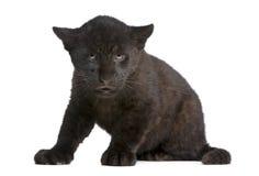 Jaguar cub (2 months) - Panthera onca Royalty Free Stock Images