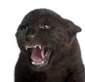 Jaguar cub (2 months) - Panthera onca Stock Images