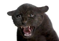 Jaguar cub (2 months) - Panthera onca Stock Image