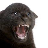 Jaguar cub (2 months) - Panthera onca Royalty Free Stock Photography