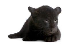 Jaguar cub (2 months) - Panthera onca Stock Photos