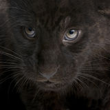 Jaguar cub (2 months) - Panthera onca Royalty Free Stock Photography