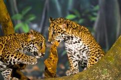 Jaguar CUB Stockbilder