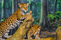 Jaguar CUB Lizenzfreie Stockfotografie