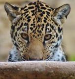 Jaguar Cub Fotografia de Stock