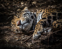 Jaguar Cub Fotografia de Stock Royalty Free