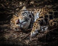 Jaguar Cub Fotografia de Stock Royalty Free