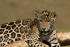 Jaguar Cub Royalty Free Stock Image