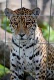 Jaguar Cub foto de archivo