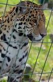 Jaguar Cub fotos de archivo