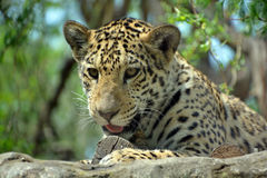 Jaguar. Cub is a big cat, a feline in the Panthera genus only extant Panthera species native to the Americas.  is the 3 largest feline after the tiger and lion Royalty Free Stock Images