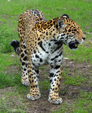 Jaguar cub. Is a big cat, a feline in the Panthera genus only extant Panthera species native to the Americas. Jaguar is the 3 largest feline after the tiger and Royalty Free Stock Images