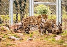 Jaguar cub Royalty Free Stock Image